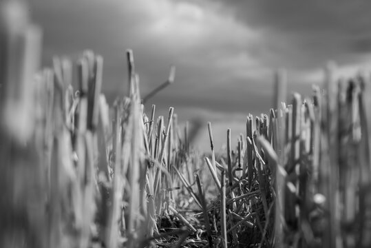 Close-up of a stubble field in black and white