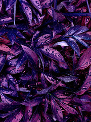 The texture of the leaves of peonies of an unusual color. Many branches of plants with drops after...