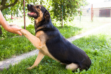 """Komenda dla psa """"podaj łapę"""" jest w czołówce najpopularniejszych komend."""