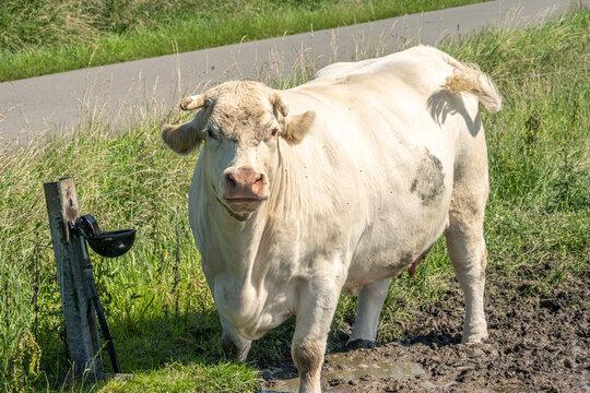 Vache campagne dans les Flandres Hauts de France
