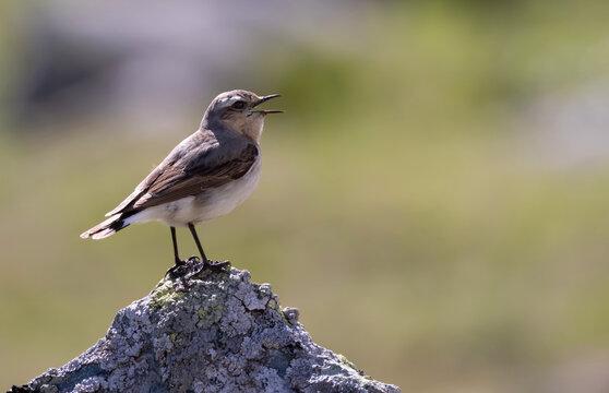 Steinschmätzer Weibchen singt.