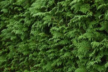 Obraz Juniperus hedge. Cupressaceae evergreen conifer. - fototapety do salonu