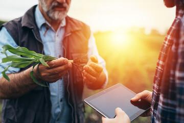 Fototapeta farmers examine corn on field obraz