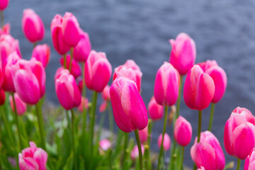 Pink tulips close-up on the background of a water channel in the Netherlands