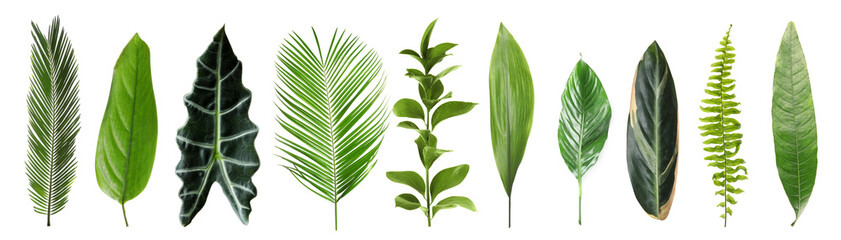 Fototapeta Set with beautiful fern and other tropical leaves on white background. Banner design obraz