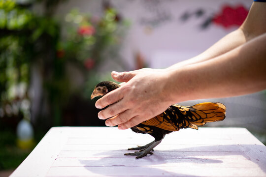 Human hand holds and handles gently on bronze sebright chick and lay down on pastel pink wood table in the outdoor garden in the afternoon time.