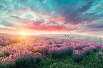 Lavender field summer sunset landscape with single tree near Valensole.Provence,France