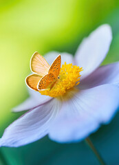 Fototapeta Beautiful white flower anemones in fresh spring morning on nature and orange butterfly on green background, macro with soft focus. Elegant amazing artistic image. obraz