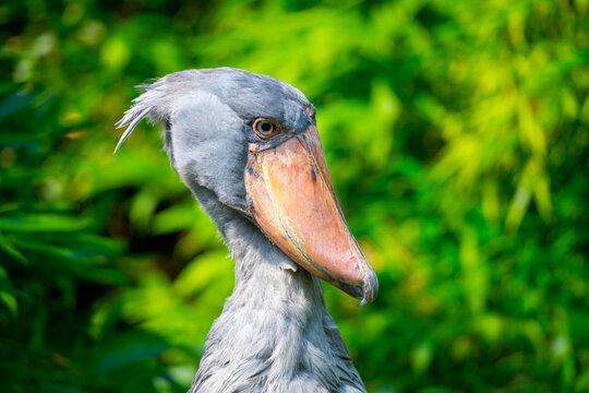 Shoebill - funny stork in the greenery