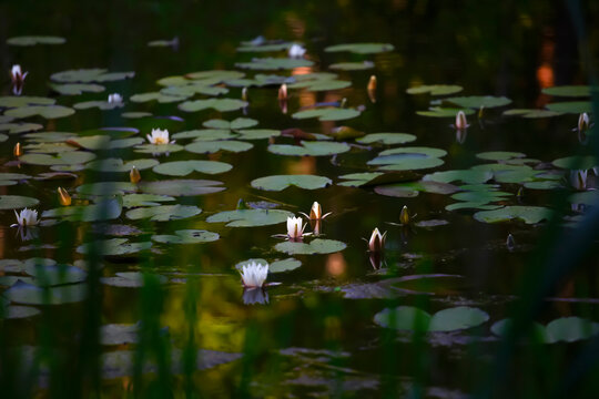 Water lilies floating in pond