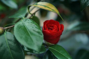 Obraz Kwiat Róży - fototapety do salonu