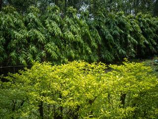 Obraz View at the beautiful Aurea perennial plants in daylight - fototapety do salonu