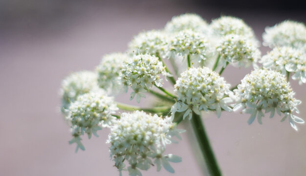 Poisonous white Water Hemlock flowers on a light background