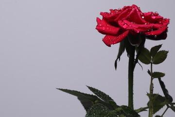 Obraz Czerwona róża na białym tle krople - fototapety do salonu