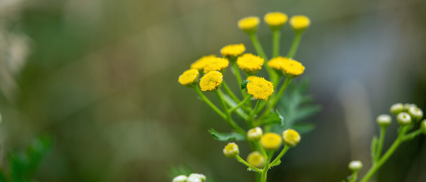 Yellow small wild flower on a green grass background