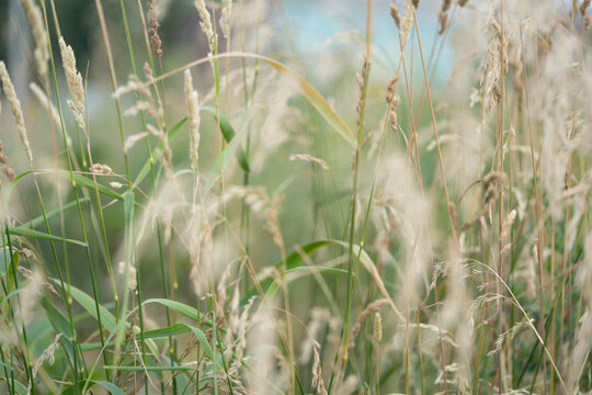 wild grass reed flower, fluffy white grain flower