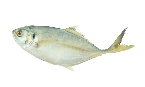 Yellowtail scad fish isolated on white background