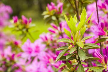 Closeup shot of blooming azalea flowers