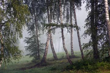 Fototapeta Pięknie oświetlone drzewa brzozy w lesie we mgle  obraz