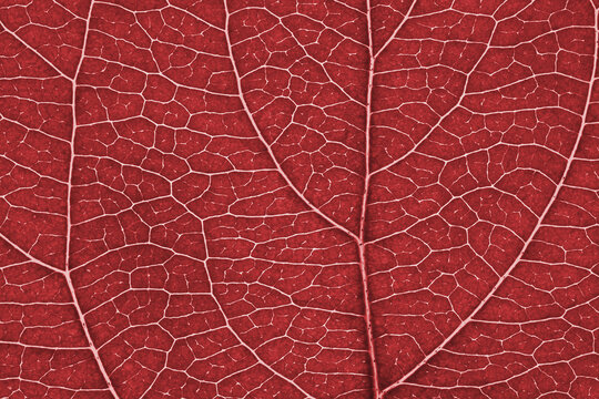 Leaf of fruit tree close-up. Red tinted mosaic pattern of a net of veins and plant cells. Abstract monochrome light brown background on a floral theme. Summer wallpaper. Macro