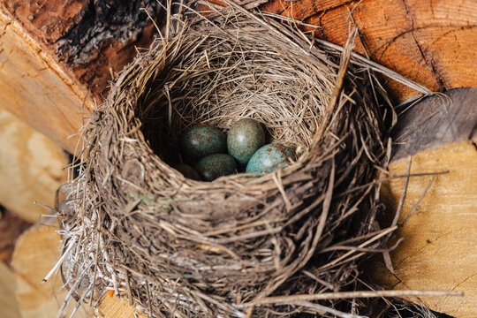 Bird's nest with green eggs inside. The bird made a nest in the woodshed.