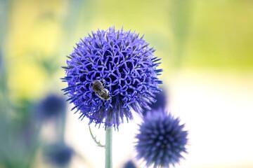 Obraz Niebieskie kwiaty przegorzana pospolitego ( (Echinops ritro) - fototapety do salonu