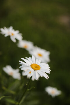 summer backdrop of chamomile flowers on a green background of grass