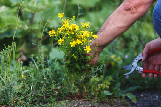 Man  harvesting medicinal herb St. John's wort with gardening tools in field. Summertime. Herb Pharmacy. Remedies and natural products concept. Selective focus