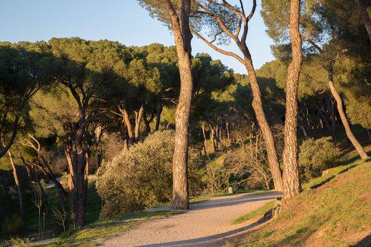 Pine Trees and Path in Dehesa de la Villa Park, Madrid