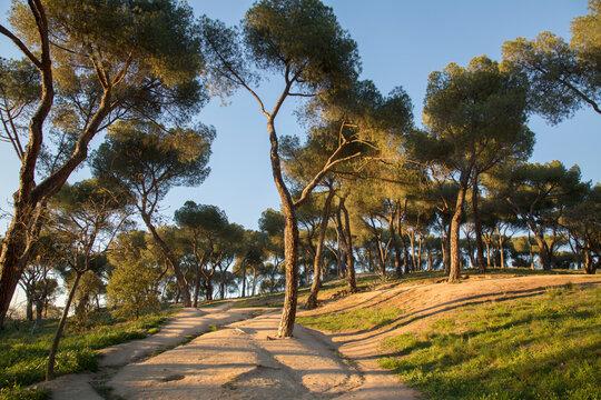 Pine Trees in Dehesa de la Villa Park, Madrid