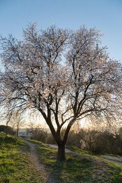 Blacklit Almond Tree in Blossom, Dehesa de la Villa Park, Madrid