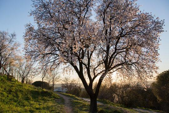 Almond Tree Blossom, Dehesa de la Villa Park, Madrid
