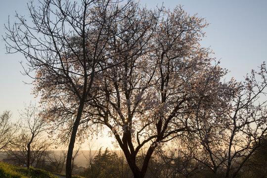 Backlight Almond Tree in Blossom, Dehesa de la Villa Park, Madrid