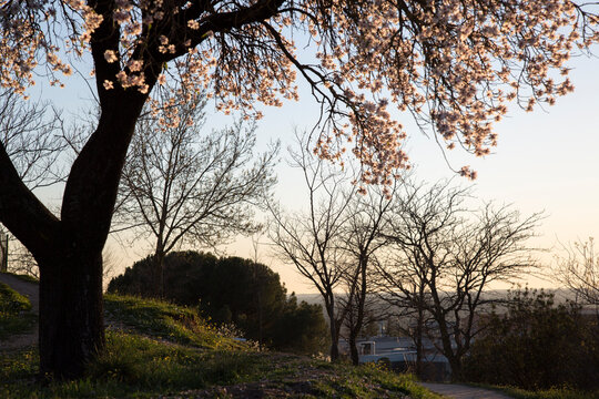 Almond Tree Blossom in Winter, Dehesa de la Villa Park, Madrid