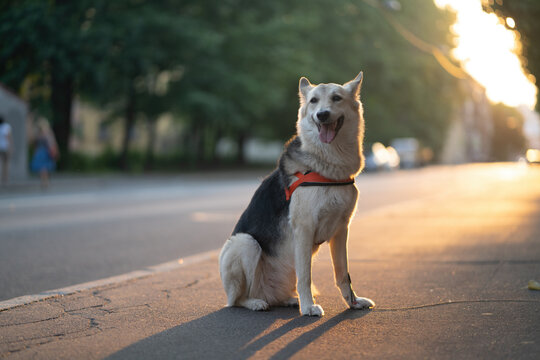 A dog in a harness sits on the road. On the walk
