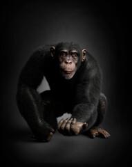 Obraz Expressive chimpanzee portrait, black background. 3D illustration - fototapety do salonu
