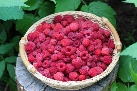 ripe raspberries in a basket, top view.