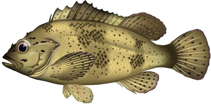 魚イラスト 'ムラソイ'