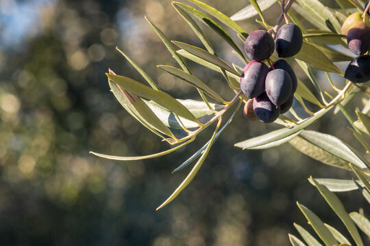 bunch of ripe Kalamata olives hanging on olive tree branch with blurred background and copy space