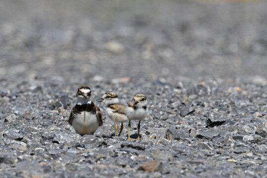Flussregenpfeifer (Charadrius dubius) mit Küken // Little ringed plover with chicks