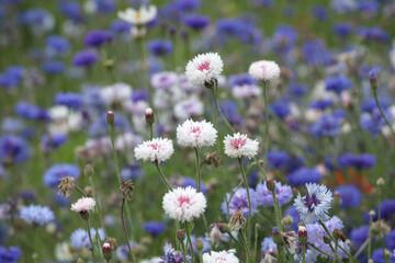 Obraz Blue cornflower 'Bachelor's button' in flower - fototapety do salonu