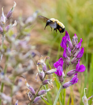 Rocky Mountain Wildflowers and a bumblebee