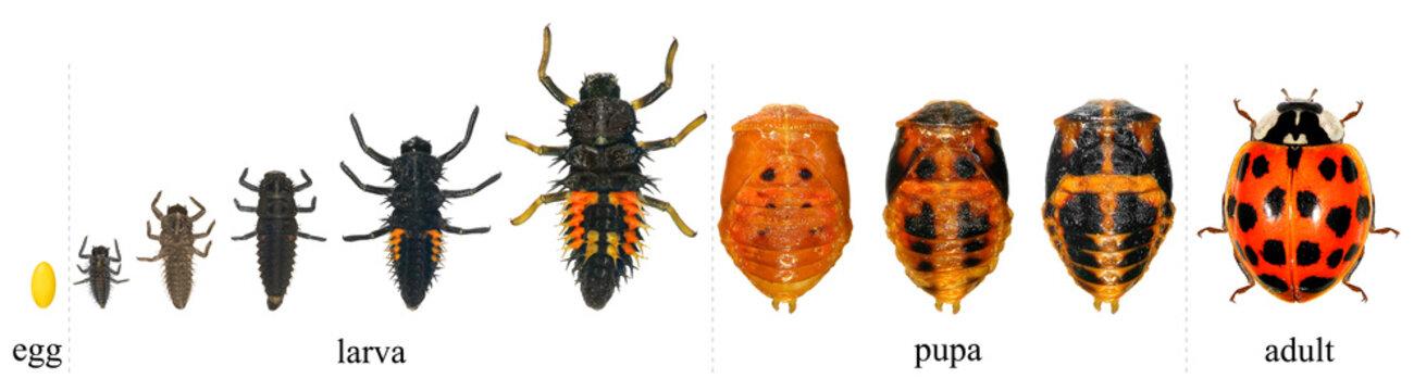 Ladybug (ladybird), Harmonia axyridis (Coleoptera: Coccinellidae). Development stages - egg, larva, pupa, adult. Isolated on a white background