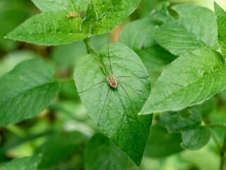 Pająk kosarz pospolity na zielonym liściu