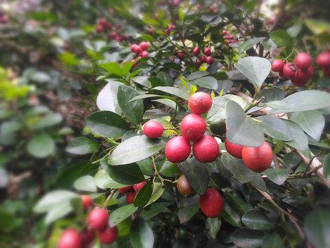Murraya paniculata red ripe fruit
