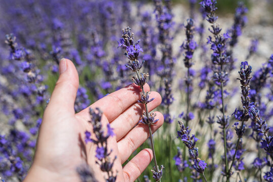 Woman hand holding a fresh bunch of lavender in the Drome region field. France 2021