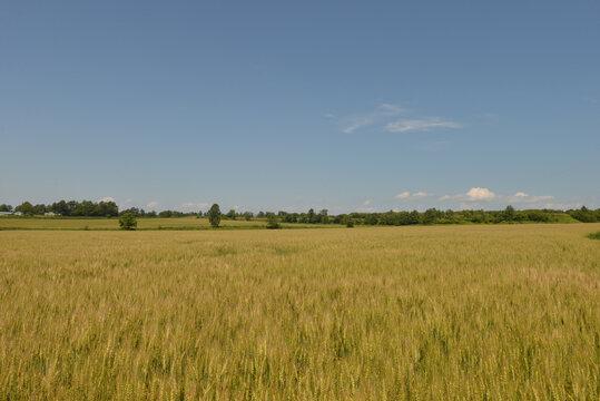 北海道の7月、夏の小麦畑