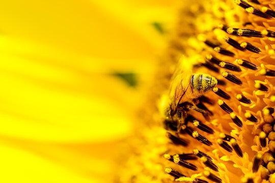 【夏イメージ】ヒマワリとミツバチ