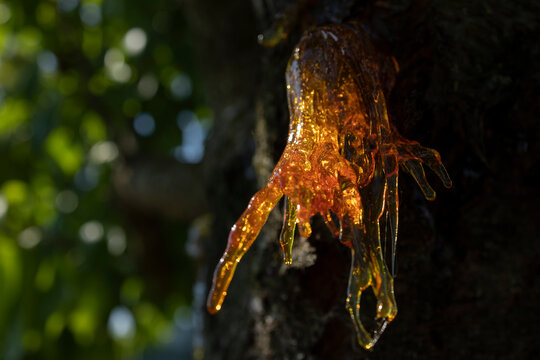 Resin on a cherry tree