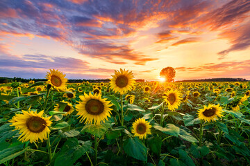Fototapeta Beautiful sunset over sunflower field obraz